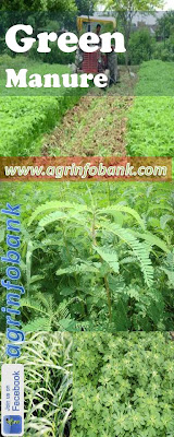 Soil Ferility improved using green manuring I www.agrinfobank.com