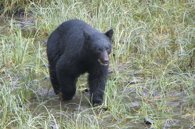 Black Bear along Eagle Creak in Ketchikan, Alaska