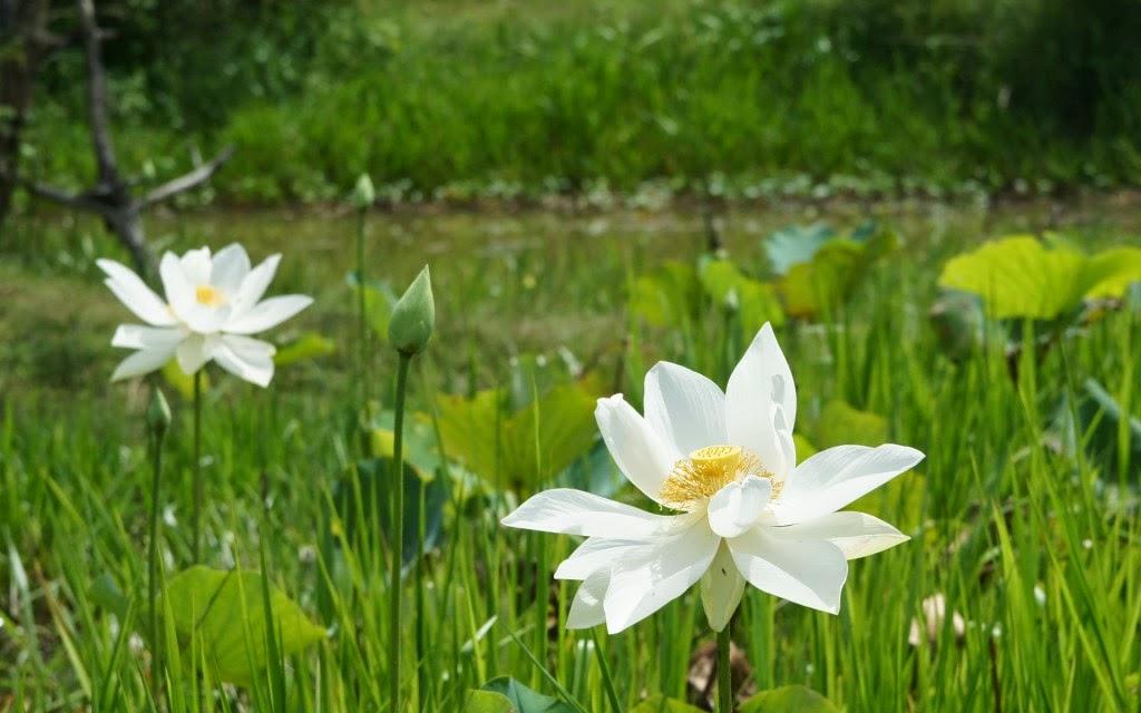 xem ảnh hoa sen đẹp nhất