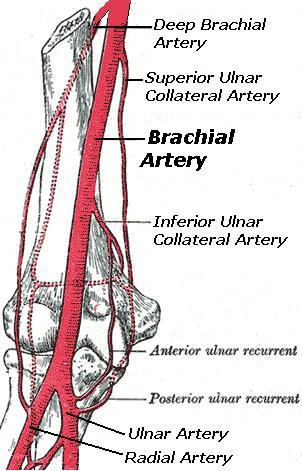 brachial_artery, Cephalic Vein