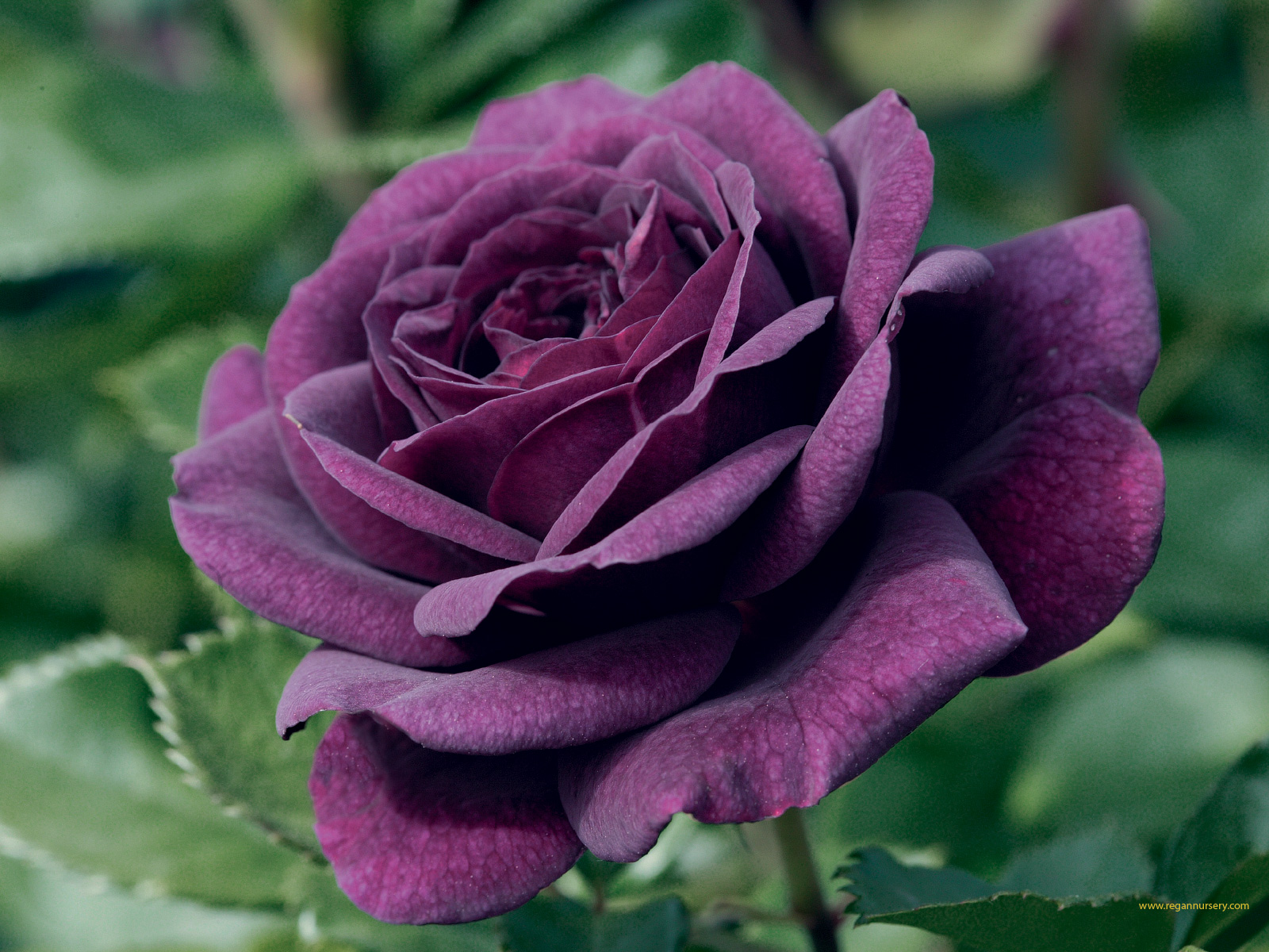 Canada floral delivery blog the varying emotions of a rose - Does blue and pink make purple ...