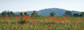 Poppies - Presteigne