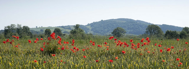 Poppies - Presteigne