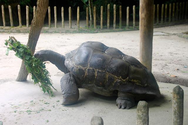 Tartaruga gigante