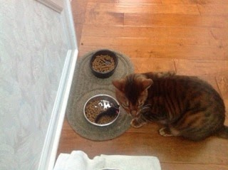 Sammy the toyger at meal time with his toy | | Exclusively Cats Veterinary Hospital, Waterford, MI