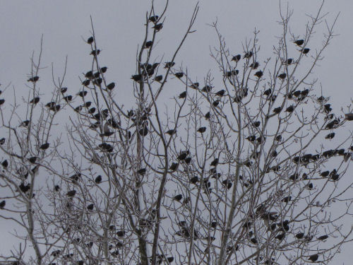 starlings