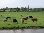 The cattle in the park grazing fields have plenty of grass to eat, . (park cattle)
