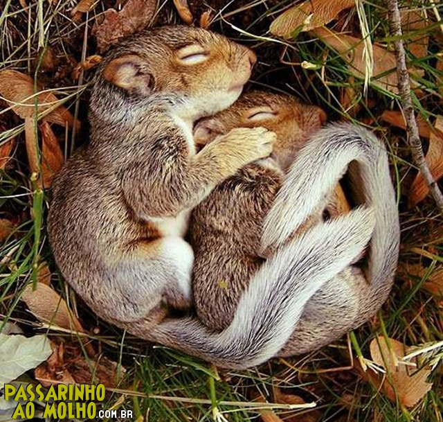 esquilos de conchinha