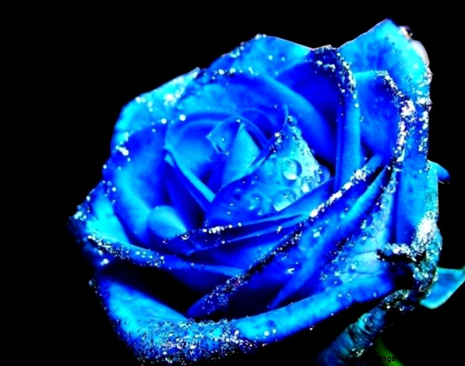 Cute Blue Rose Fresh Flower HD