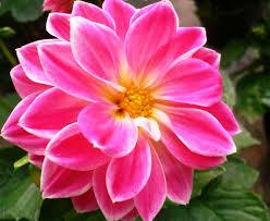 Cara perawatan bunga dahlia