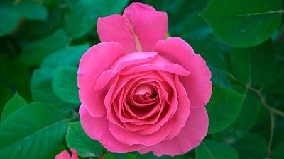 Baixe grátis papel de parede de uma linda rosa em hd 1080p.