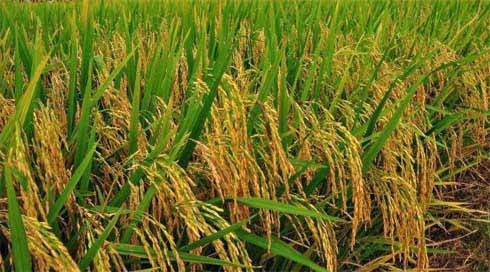 Image result for tula sankranti paddy fields