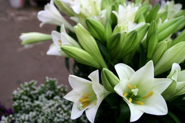 Hình ảnh hoa đẹp - Hoa loa kèn