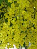 ดอกไม้ประจำชาติไทย