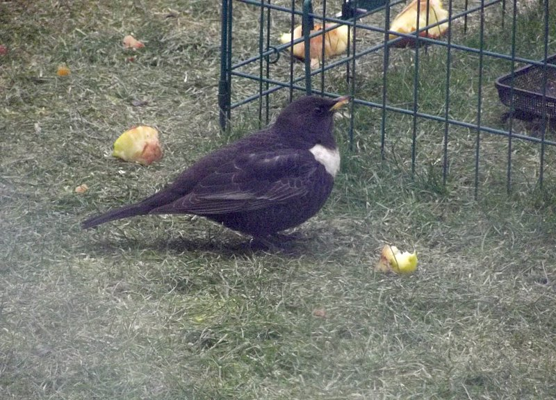 Ring Ouzel Feb