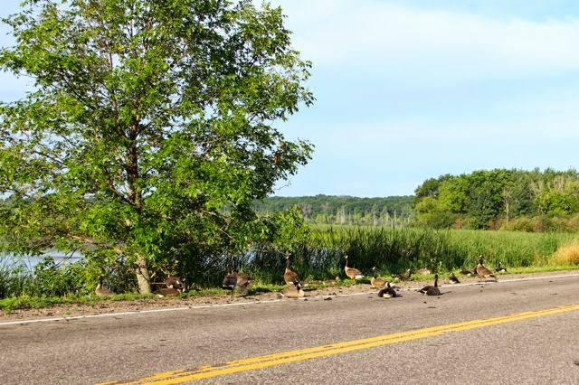 geese resting on and near the road