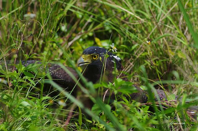 雞南山的大冠鷲- 阿鷲。捕捉獵物。