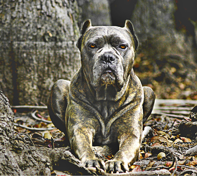canario chien