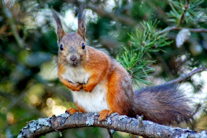Oravalla puussa talipallo oli suussa kohta