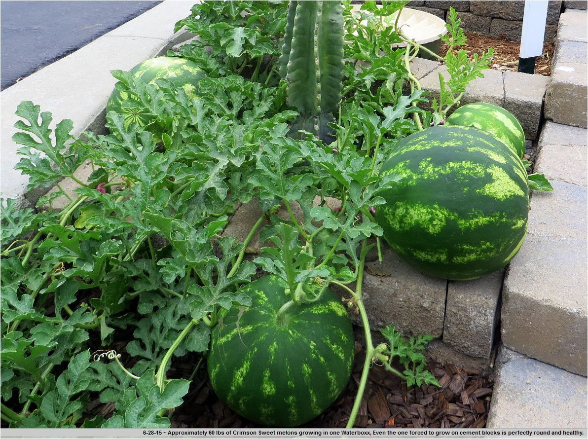 "Picture of 2 (TWO) Live Watermelon Crimson Sweet aka Citrullus lanatus Plant Fit 4"" Pot"