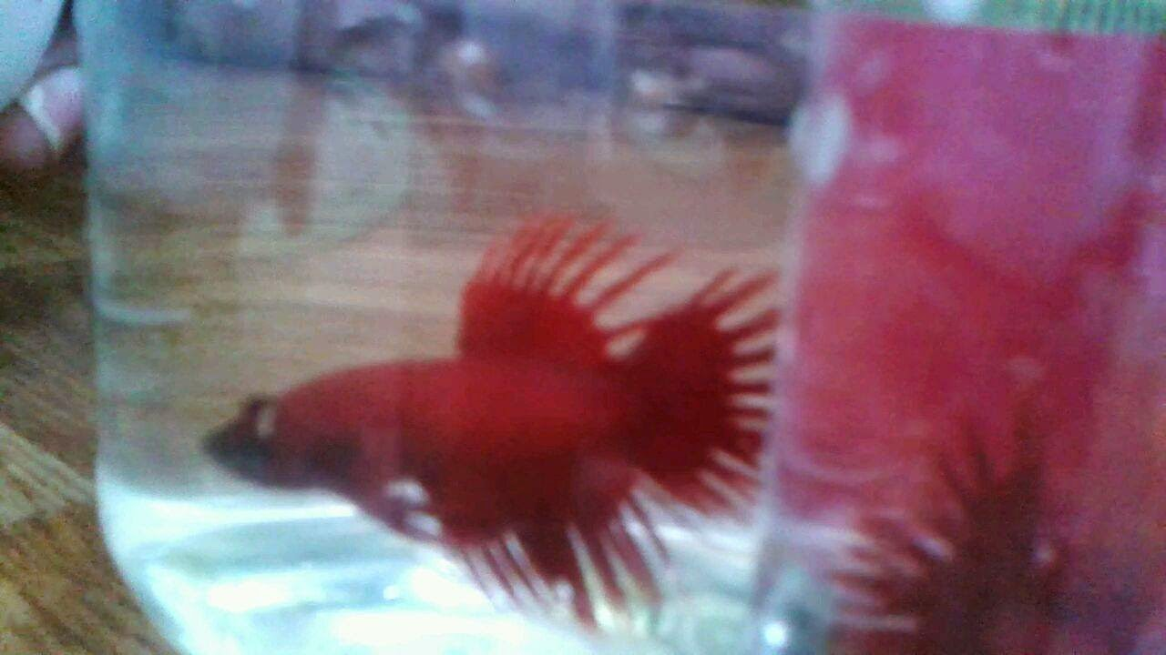 super red crown tail betta forsale in Cebu 300 pesos