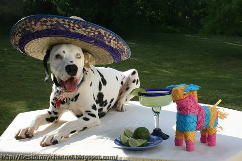 Dog in sombrero.