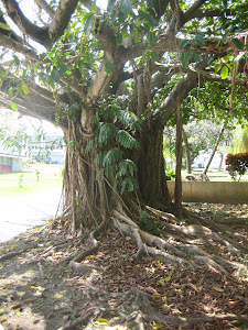 AGED FICUS BY MAIN ENTRANCE