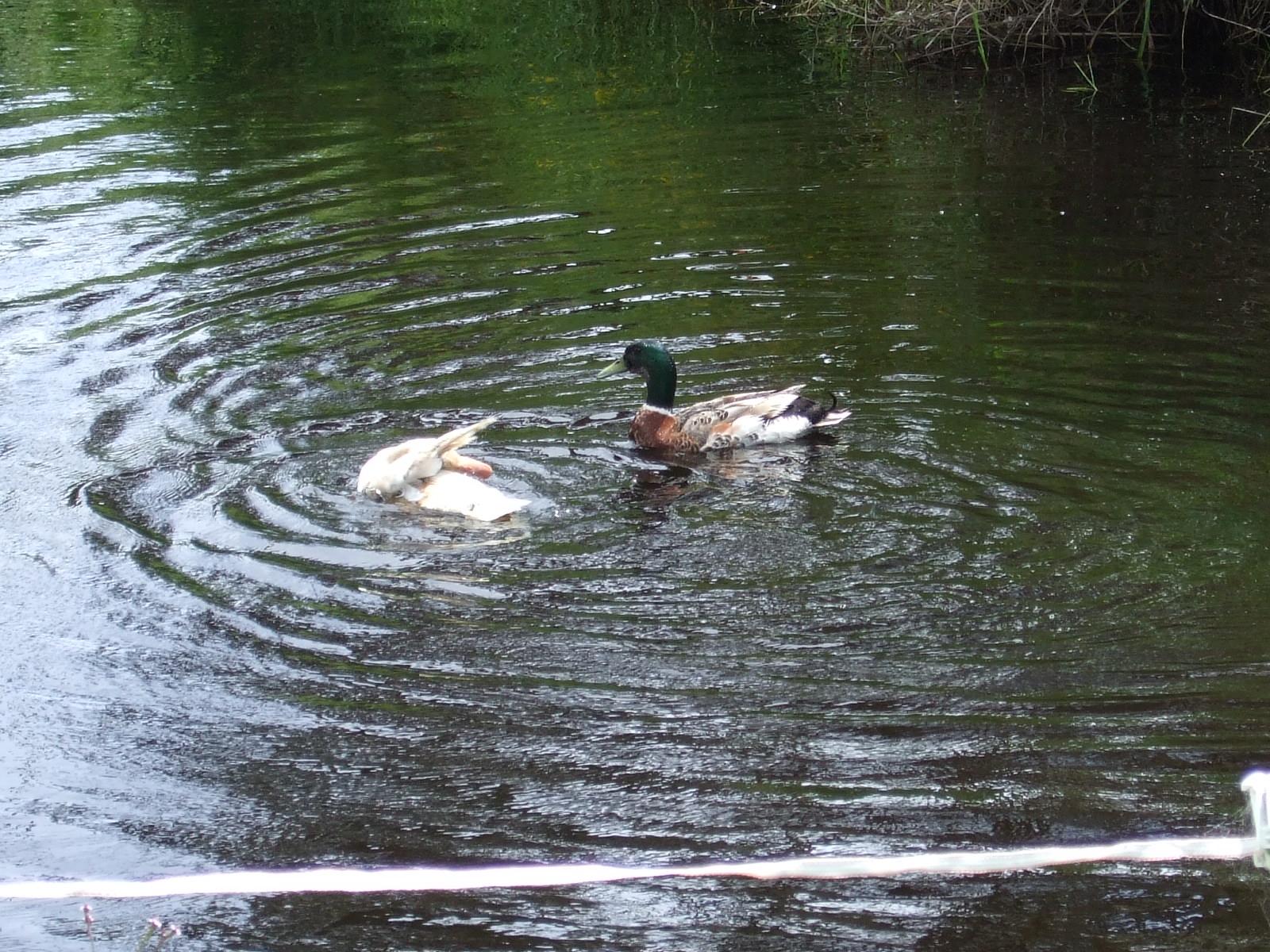 鴨,鳥,池,ニュージーランド〈著作権フリー無料画像〉Free Stock Photos