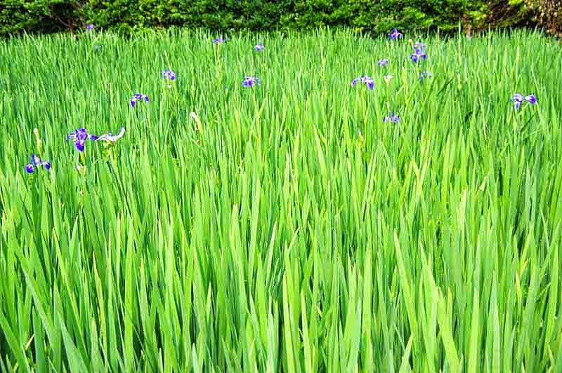 iris field, flowers