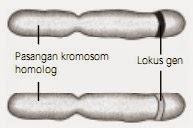Gen dan letaknya pada kromosom homolog