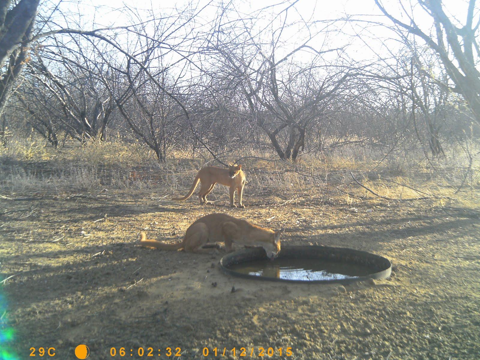 O gato do mato vermelho bebendo água