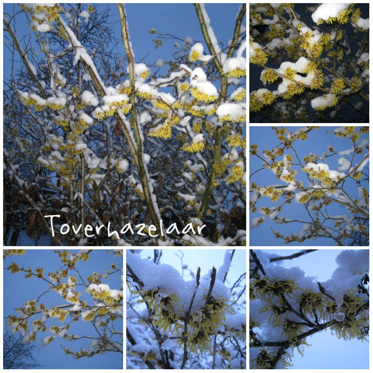 Toverhazelaar, Hamamelis bedekt met sneeuw