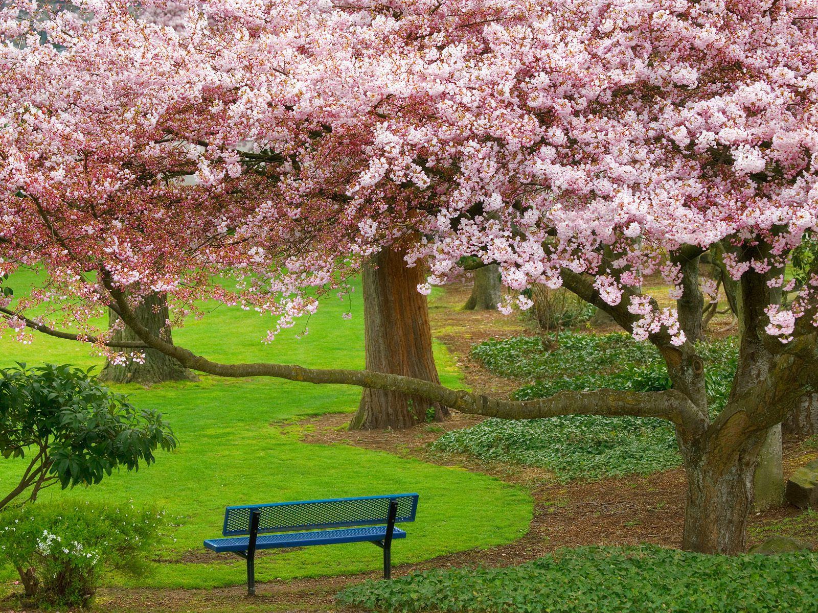 http://3.bp.blogspot.com/-8ROd2hTUkJg/TktP6x_8yoI/AAAAAAAAA48/z-6zEHGzr8s/s1600/Cherry+Tree%252C+Evergreen+Park%252C+Bremerton%252C+Washington.jpg