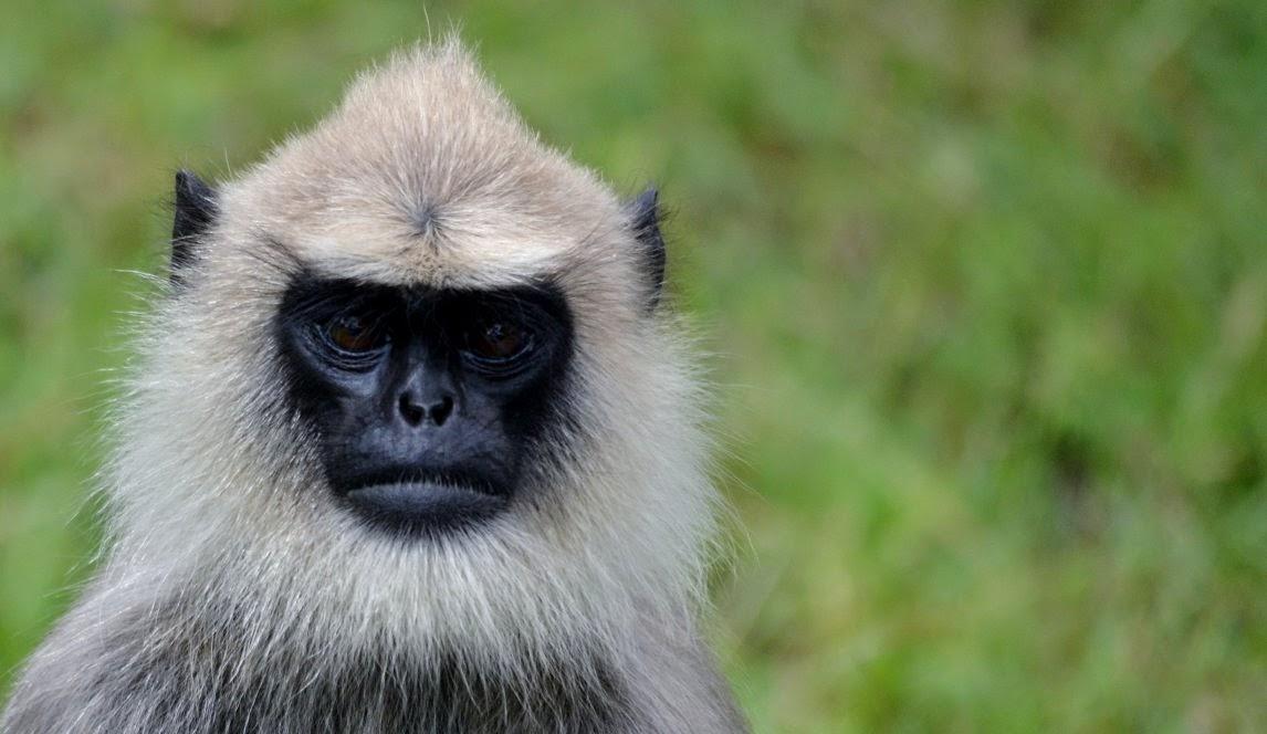 El langur, un primate