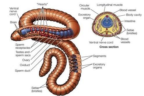 Pengertian Filum Annelida, Ciri dan Klasifikasinya