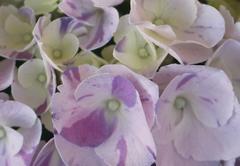 ✿ Fleur du mois : Hydrangea