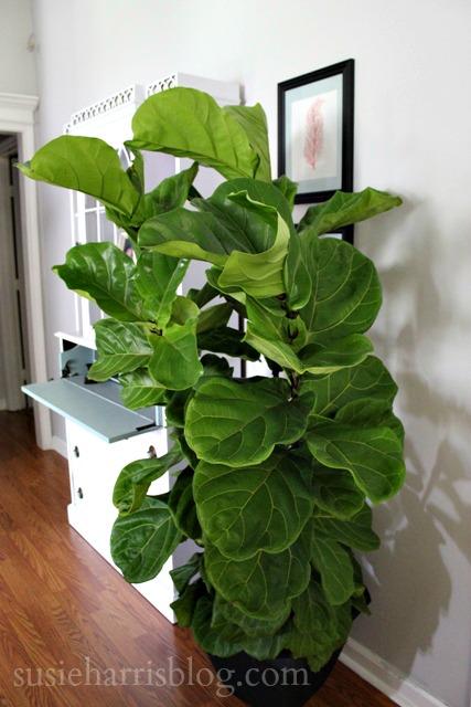 susie harris the famous fiddle leaf fig. Black Bedroom Furniture Sets. Home Design Ideas