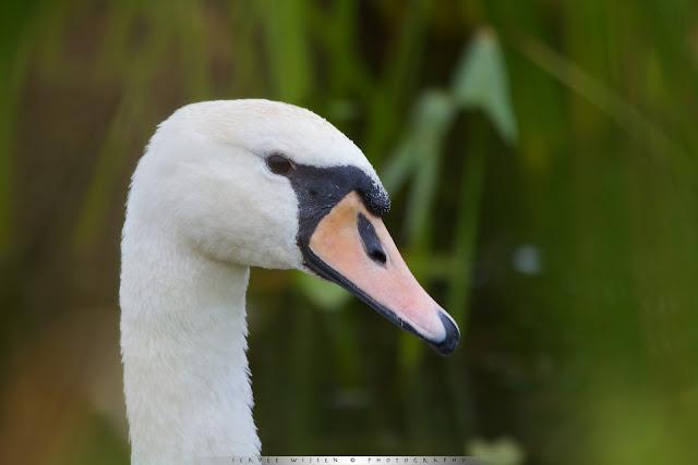 Knobbelzwaan - Mute Swan - Cygnus olor