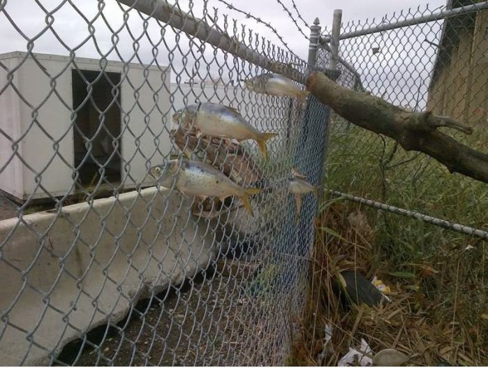 Fish Caught In Fence During Hurricane Sandy