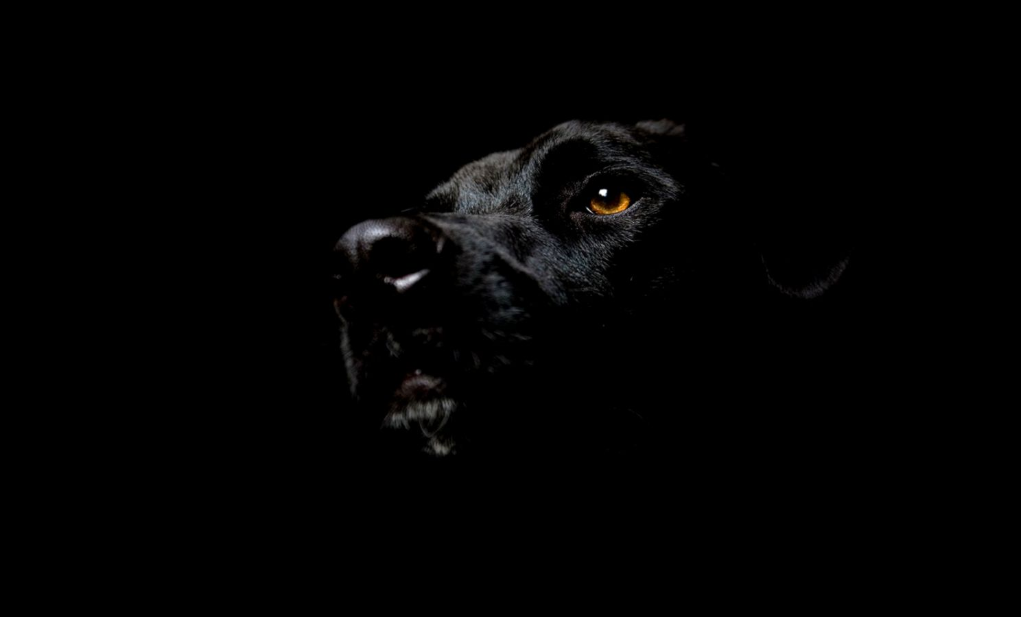 Black Lab Screensavers