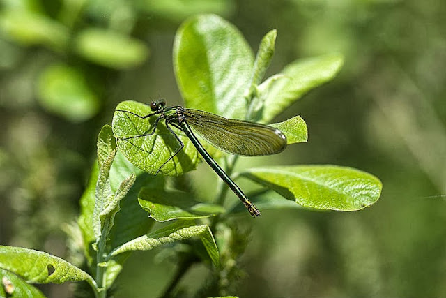 Banded Demoiselle Female (Calopteryx splendens) photographed by the river Ouse in Old Wolverton Milton Keynes (2012)