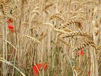 Fond d'écran sept. 2011 - Champ de blé et coquelicots en Picardie