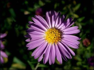 Contoh Tanaman Hias Bunga Krisan