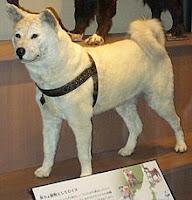 anjing