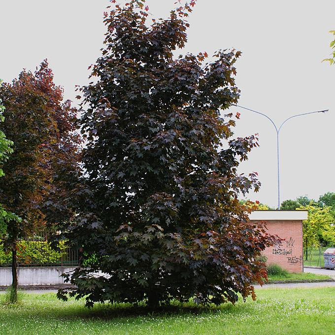 Hortus italicus acer platanoides 39 crimson king 39 for Acero riccio