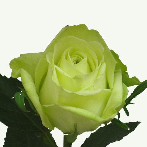 Avenger blog green rose flower for Are there any green roses