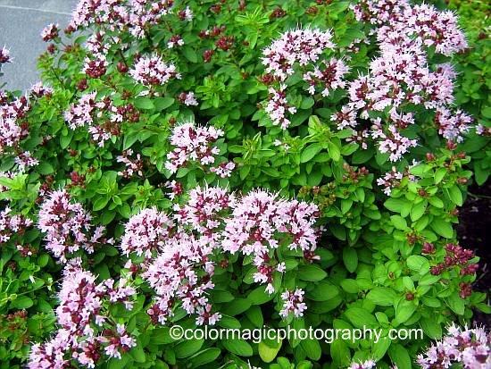 Flowering Oregano-Origanum vulgare plant