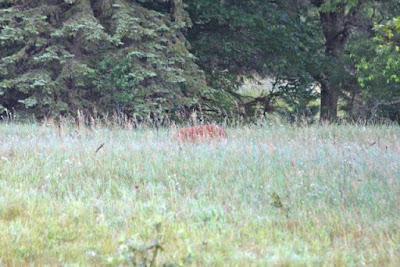 whitetail doe in Summer meadow