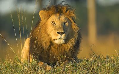 Ο γέρο ξυλοκόπος και το λιοντάρι
