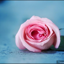flower, pink, rose, beautiful